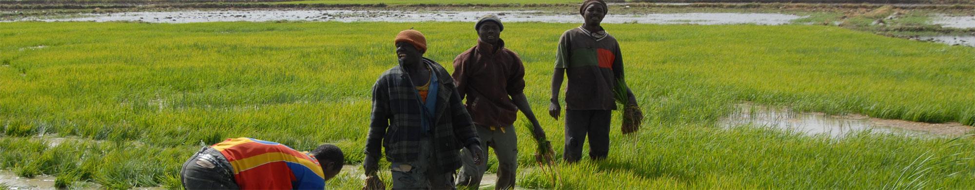 La fédération des coopératives des producteurs de la zone Office du Niger (COPON)