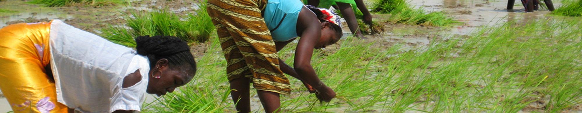 La Plateforme Nationale des Producteurs de Riz du Mali (PNPR-Mali)