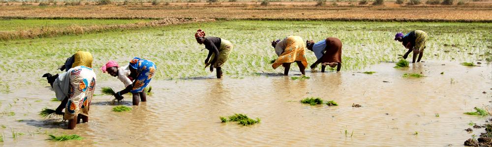 Mali rizière 1000x300 ok