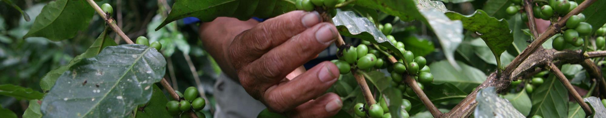 FECAFEB (Fédération des producteurs de café de Bolivie)