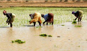 Le riz, ce grand consommateur d'eau