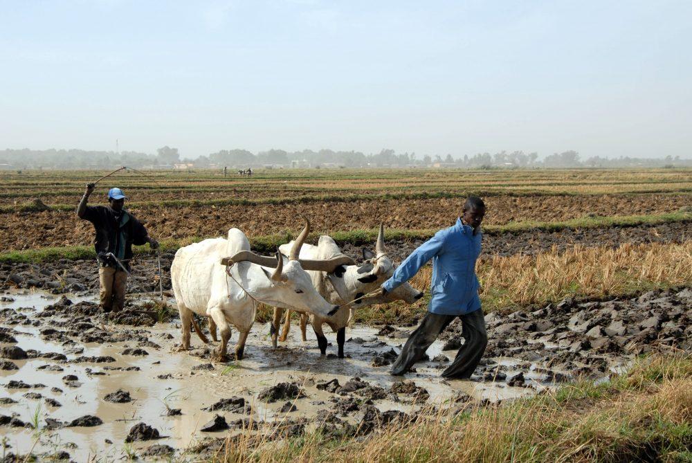 Politiques agricoles au Mali: dynamiques e...