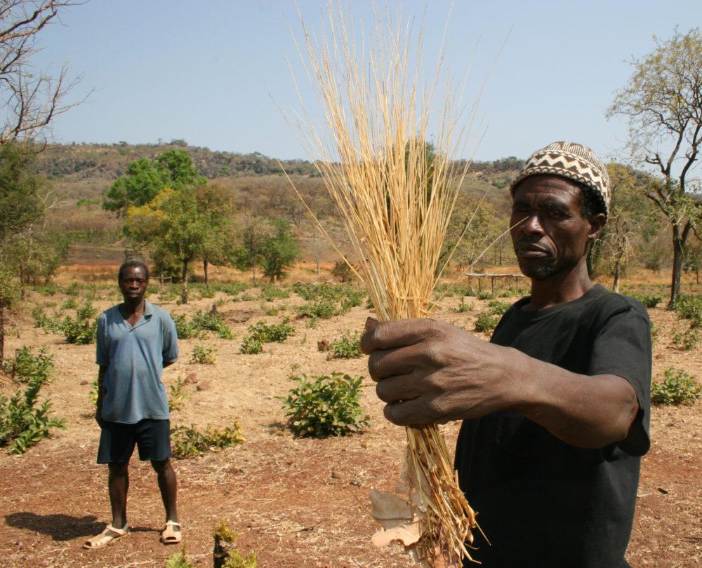Retour du fonio : les Africains se réappro...